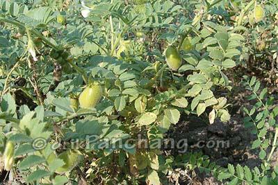 Chana Plant